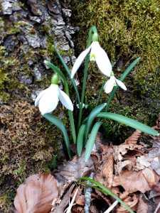 Bucaneve/ Snowdrop/ スノードロップ Figure of flowers