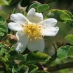 Wild/ species rose/ Fuji-Ibara フジイバラ 花の姿