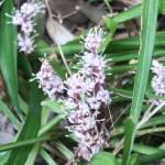 Reineckea carnea/ キチジョウソウ 花の姿