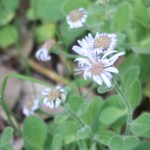 Seashore spatulate aster/ ダルマギク 花の咲いている様子
