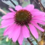 Coneflowers/ エキナセア 紫色のエキナセア 花の姿