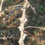 Wingthorn Rose/ ロサ・セリケア・プテラカンタ 棘の様子