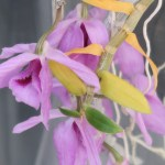 Dendrobium/ デンドロビウム Den. anosmum