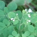 Boenninghausenia albiflora/ マツカゼソウ