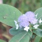 Bracted Hydrangea/ タマアジサイ 花の姿