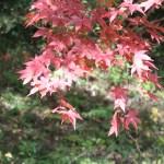 Acer amoenum / オオモミジ 紅葉した葉の様子