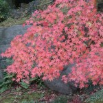 Japanese maple/ イロハモミジ 紅葉した葉の様子