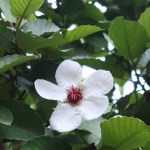 Philippines simpoh/ ビワモドキ 花の様子