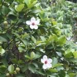 Philippines simpoh/ ビワモドキ 花と実がなっている様子