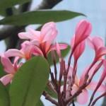Plumeria/ プルメリア ピンク色の花の様子
