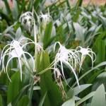 Spider lily/ スパイダーリリー 花の咲いている様子