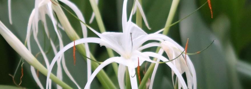 Spider lily/ スパイダーリリー 花の姿