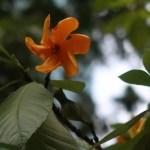Golden gardenia/ キバナクチナシ 花の様子