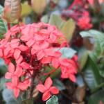 West Indian Jasmine/ サンタンか 花の様子