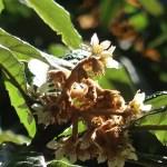 Loquat ビワ 花の様子