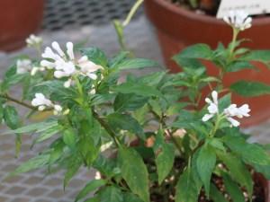 Ophiorrhiza japonica/ サツマイナモリ 花の咲いている様子