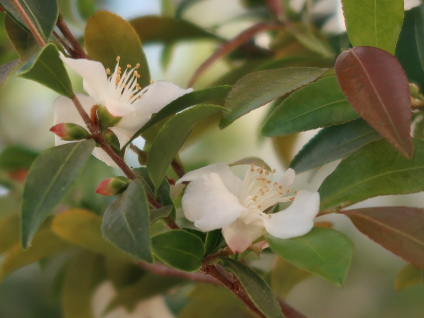 Camellia lutchuensis ヒメサザンカ