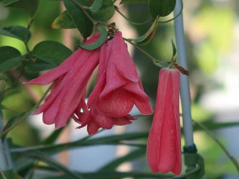 Chilean bellflower / ツバキカズラ