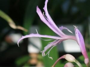 Griffinia hyacinthina/ グリフィアナ ヒアシンシナ 花の姿
