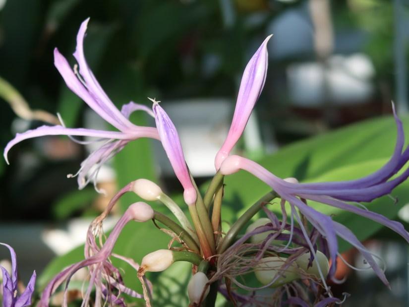 Griffinia hyacinthina/ グリフィアナ ヒアシンシナ