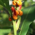Hedychium horsfieldii/ ヘディキウム・ホースフィエルディ 花の様子