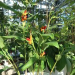 Hedychium horsfieldii/ ヘディキウム・ホースフィエルディ 花の咲いている様子