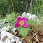 Rosa gallica/ Gallic rose/ ロサ・ガリカ