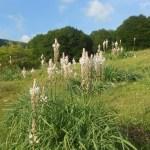 Asphodelus albus/ White asphodel/ Asfodelo Figure of flowering plant