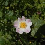Rosa canina andegavensis/ Anjou Rose/ ロサ・カニーナ・アンデガヴェンシス
