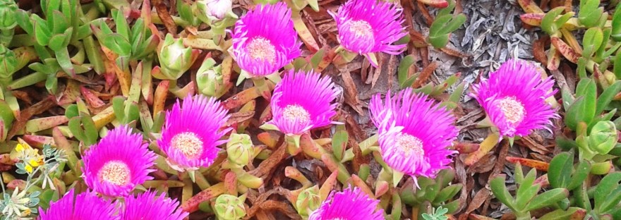 Mesembryanthemum crystallinum/ Ice plant/ アイスプラント
