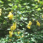Laburnum anagyroides/ Golden chain/Maggiociondolo, Figure of flowers blooming