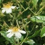 Wild/ species rose/ Musk Rose ロサ モスカータ 花の様子
