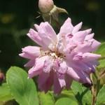 Old garden rose/ Rambler/ Seven sisters rose セブン シスターズ ローズ 花の姿