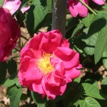 Wild/ species rose/ Red Gallica/ ロサ・ガリカ・オフィキナリス 花の様子