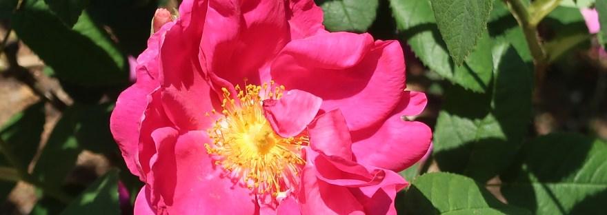 Wild/ species rose/ Red Gallica/ ロサ・ガリカ・オフィキナリス