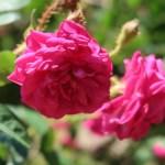 Old garden rose/ M Moss モス/ Henri Martin アンリ・マルタン 花の姿