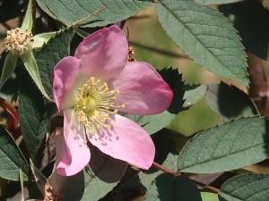 Wild/ species rose/ Rosa glauca ロサ・グラウカ 花の姿