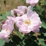 Wild/ species rose/ Apple rose ロサ・ポミフェラ