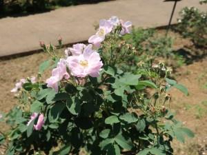 Wild/ species rose/ Apple rose ロサ・ポミフェラ 花の咲いている様子