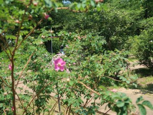 Wild/ species rose/ Rosa pendulina oxyodon ロサ・ペンデュリーナ・オキシオードン 花の咲いている様子