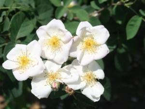 Wild/ species cross/ Dupontii rose ロサ・デュポンティー 花の様子