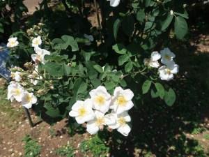 Wild/ species cross/ Dupontii rose ロサ・デュポンティー 花の咲いている様子