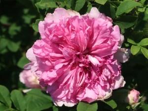 Wild/ species rose/ Chestnut Rose イザヨイバラ 花の姿