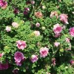 Wild/ species rose/ Chestnut Rose イザヨイバラ 花の咲いている様子