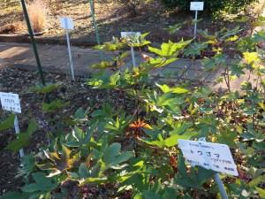 Castor bean/ トウゴマ 植物の姿