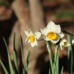Narcissus/ スイセン 花の様子