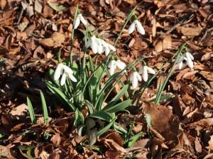 Snowdrop/スノードロップ 花の咲いている様子