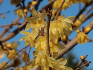 Chimonanthus praecox/ winter sweet/ ソシンロウバイ 花の咲いている様子
