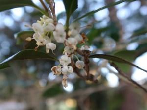 Holly osmanthus/ ヒイラギ 花の様子