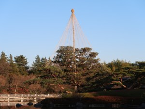 Pine/ マツ(赤松) 雪吊りの松